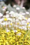 Wildflowers - Everlastings στοκ εικόνα με δικαίωμα ελεύθερης χρήσης