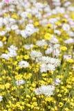 Wildflowers - Everlastings Fotos de archivo