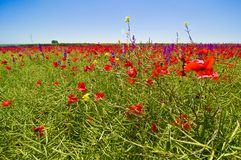 Wildflowers field Royalty Free Stock Photography