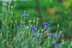 Wildflowers. Field blue flowers in the Sunny meadow Stock Photo