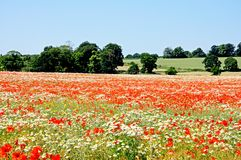 Wildflowers in field, Lichfield. Royalty Free Stock Images