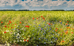 Wildflowers in the field of ripening rye, Europe Stock Image