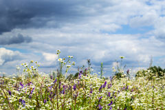 Wildflowers. Stock Images