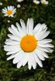 Wildflowers frescos mola ou projeto do verão Fundo floral do sumário da margarida da natureza no verde e no amarelo Fotografia de Stock Royalty Free