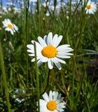 Wildflowers frescos mola ou projeto do verão Fundo floral do sumário da margarida da natureza no verde e no amarelo Fotografia de Stock