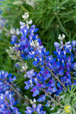 Wildflowers. In a full bloom in Crested Butte, Colorado Stock Images
