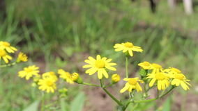 Wildflowers gialli stock footage