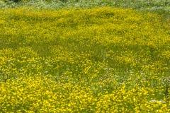 Wildflowers gialli del prato Immagine Stock