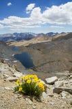 Wildflowers gialli dell'oro alpino Immagini Stock