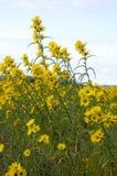 Wildflowers gialli di Tickseed sulla prerogativa della palude di Montezuma Fotografia Stock