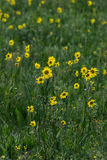 Wildflowers gialli in erba verde immagini stock