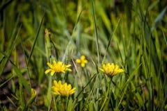 Wildflowers gialli fotografie stock
