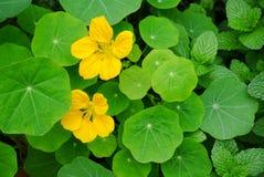 Wildflowers gialli freschi in arbusti Immagini Stock