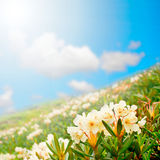 Wildflowers. gift card. Mountain meadow field of white flowers against the sky. Rhododendron caucasicum Pall stock photos
