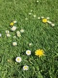 Wildflowers in grass. Dandelions and wildflowers in green sunlit grass Stock Photos