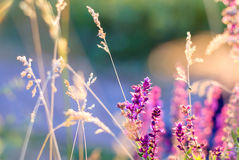 Wildflowers and grass in sunset rays for background. Stock Photography