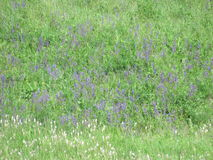 Wildflowers. Grazing in May, freshness flora. Nature came to life after the winter cold.nspring meadow. meadow flowers nWildflowers stock photos
