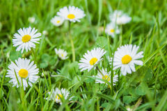 Wildflowers. Among the green grass field blooming chamomile Royalty Free Stock Images