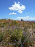 Wildflowers on Grizzly Mountain Stock Image