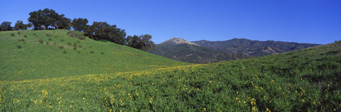 Wildflowers growing in a field with live oak Stock Images