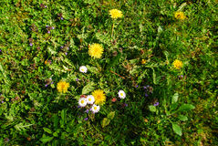 Wildflowers growing in a garden. Dandelions and daisies grow on the grass in a garden Stock Photography