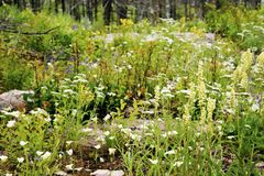 Wildflowers growing in a meadow after a forest fire stock images