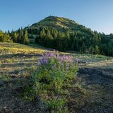 Cone Peak Wildflowers. Wildflowers growing in meadow near Cone Peak during early summer. Oregon Stock Photography