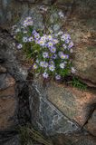 Wildflowers Growing from Rocks Stock Images