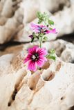 Wildflowers growing in a small crevice in  rocks Royalty Free Stock Photography