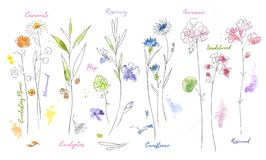 Wildflowers hand drawn watercolor illustration set. Plants vector sketch. Wildflowers hand drawn watercolor set. Camomile, hop aquarelle paint drawing. Twigs stock illustration