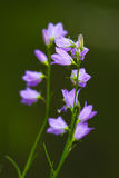 wildflowers harebell стоковое фото