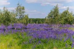Wildflowers hermosos en la sombra de abedules rubios contra el contexto de un bosque verde Imagen de archivo libre de regalías