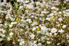 Wildflowers het bloeien kamille Stock Foto