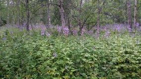 Wildflowers in het noorden van Zweden Stock Afbeeldingen