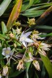 Wildflowers il prosciutto scientifico di angustifolia di Swertia di nome ex D indossi fotografia stock