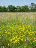 Wildflowers in a Illinois prairie. Beautiful yellow flowers bloom in a prairie at Deer Run Forest Preserve - northern Illinois Royalty Free Stock Photo