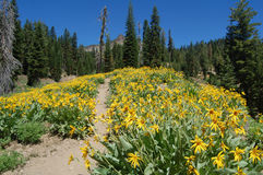 Wildflowers im Lassen-vulkanischen Nationalpark Lizenzfreies Stockfoto