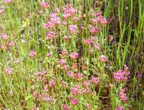 Wildflowers intrépidos del parque Imagen de archivo libre de regalías