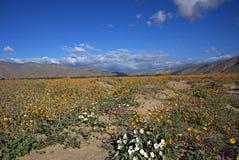 Wildflowers J de Anza-Borrego Imágenes de archivo libres de regalías