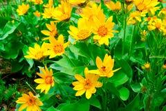 Wildflowers jaunes Photographie stock libre de droits