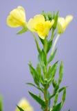 Wildflowers jaunes d'étang Image libre de droits