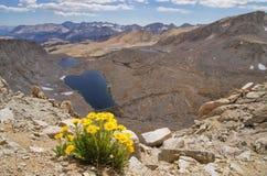 Wildflowers jaunes d'or alpestre photographie stock libre de droits