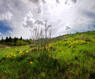 Wildflowers jaunes d'Arrowleaf Balsamroot en ressort de Rocky Mountain Images libres de droits