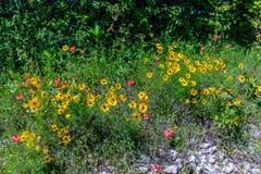 Wildflowers jaunes dans le Texas photographie stock libre de droits