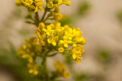 Wildflowers jaunes, macro images libres de droits