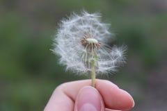 Wildflowers kształtują teren szczęśliwego delikatnego dandelion zdjęcie stock