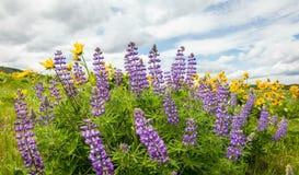 Wildflowers Kwitnie wiosna sezon w Maryhill WA z chmura czasu upływem zbiory