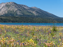 Free Wildflowers, Lake Tahoe Stock Photography - 74084872