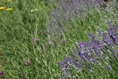 Wildflowers and Lavender blooming royalty free stock image
