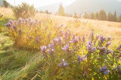 Wildflowers lilla, la genziana del salice, fioritura nel meado alpino Fotografie Stock